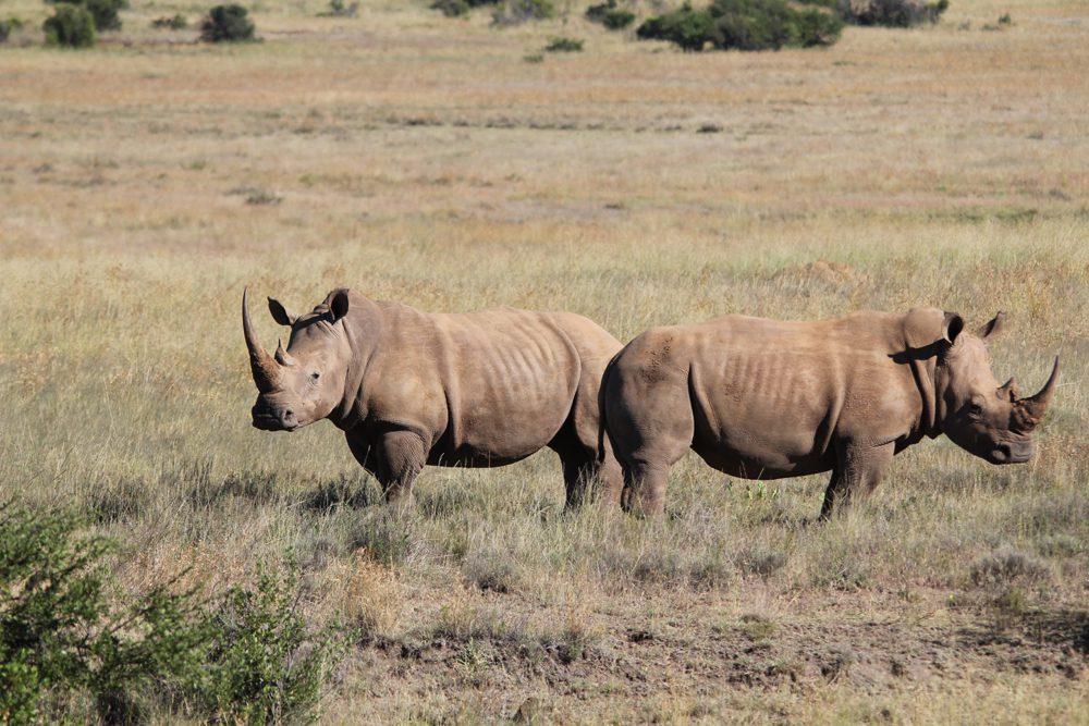 White Rhinocerus